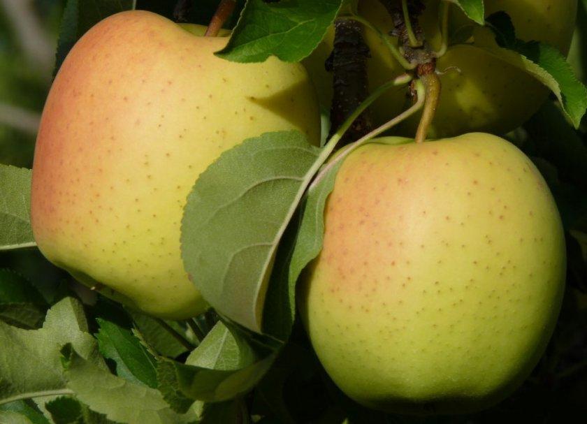 Плоды Голден Делишес