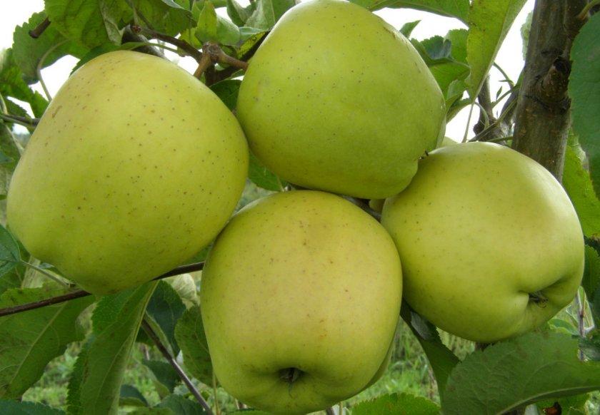 Яблоки Голден Делышес