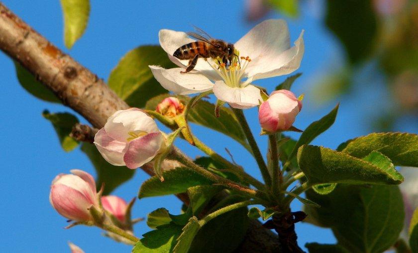 Цветение яблони Голден Делишес