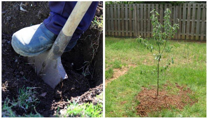 Выбор и подготовка места для посадки яблони