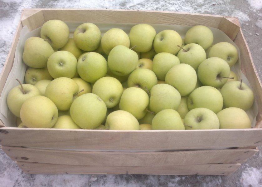 Урожай яблок Голден Делишес