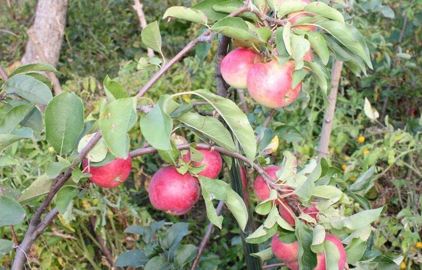 Яблоко Былина