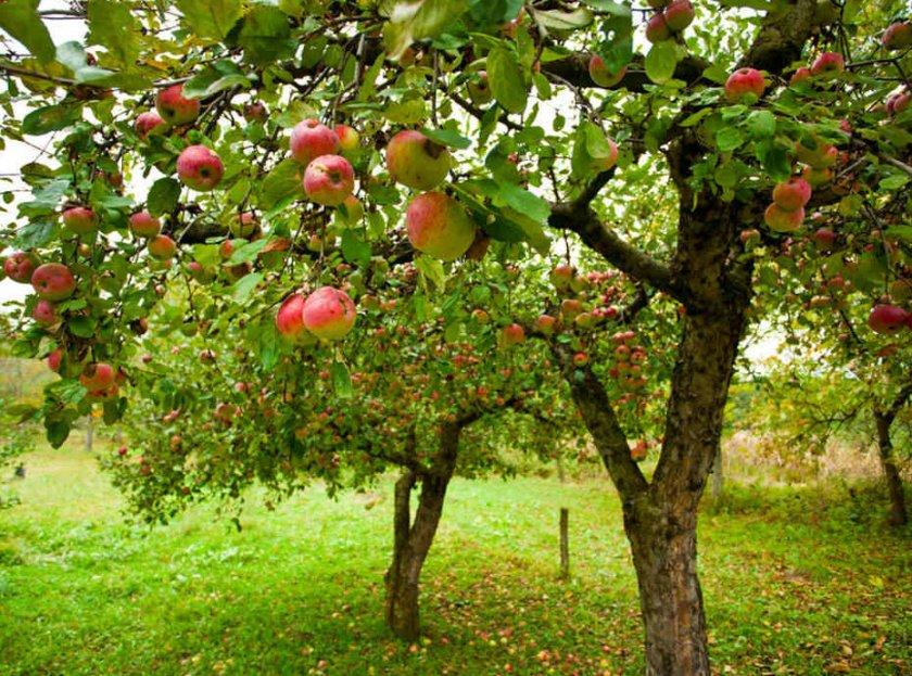 Сад с яблонями
