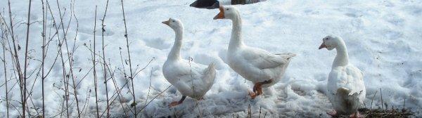 Особенности кормления гусей в зимний период