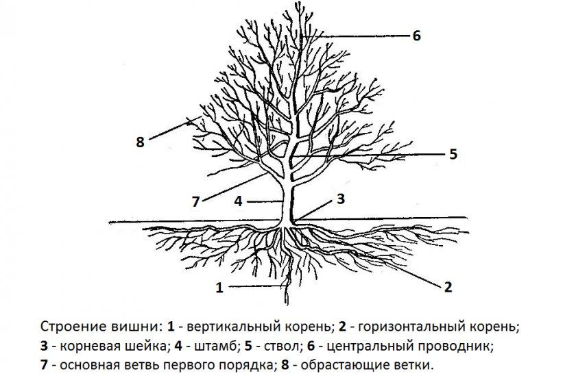 Строение вишнёвого дерева