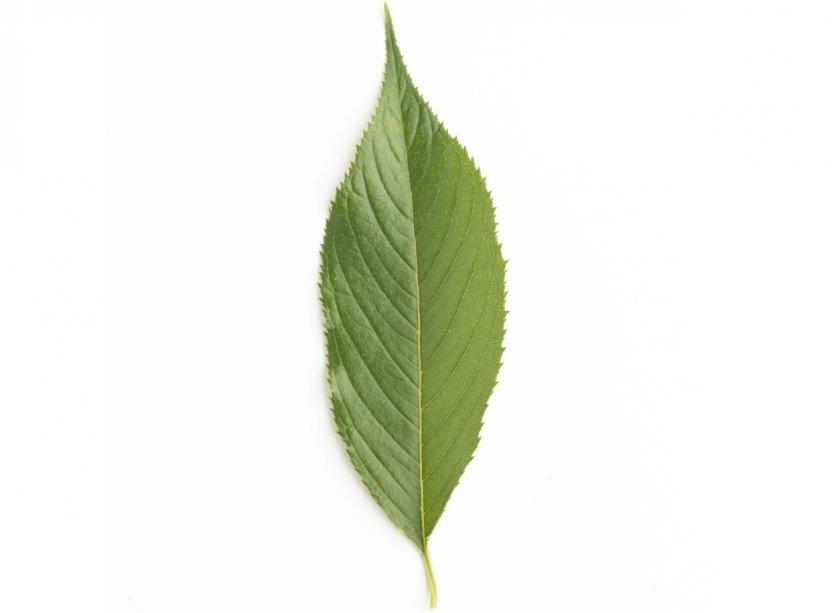 Листок вишни