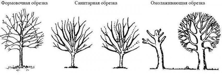 Виды обрезки яблони