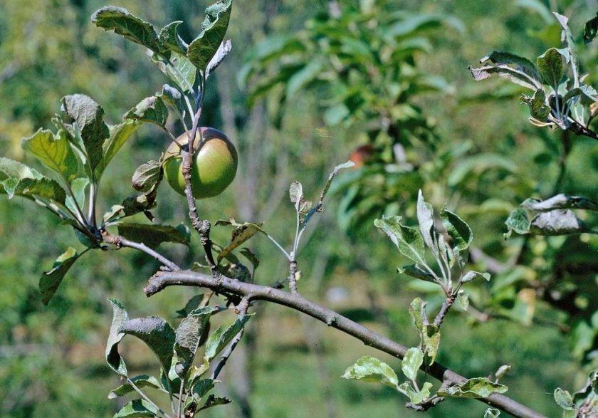 Мучнистая роса на яблоне