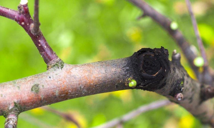 Чёрный рак коры яблони