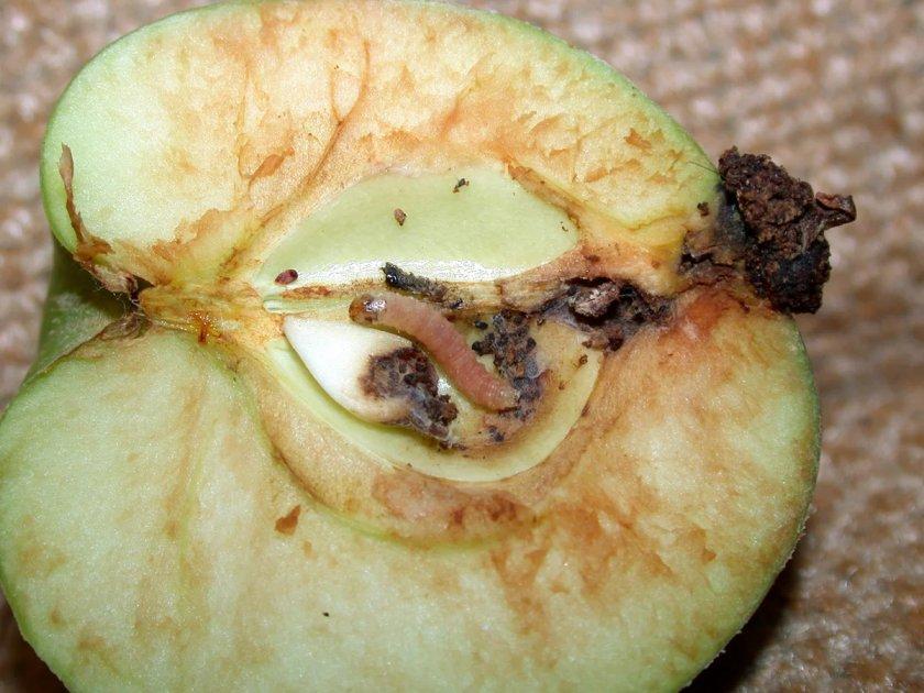 Яблонная плодожорка и ёё личинка