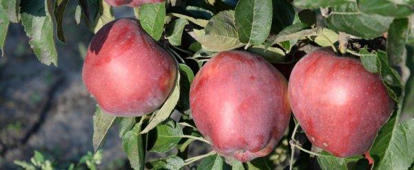 Яблоня красное раннее описание фото отзывы