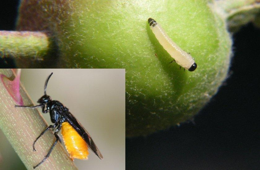 Плодовый пилильщик и его личинка