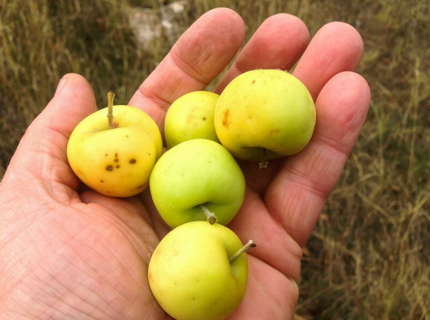 Дикие яблоки