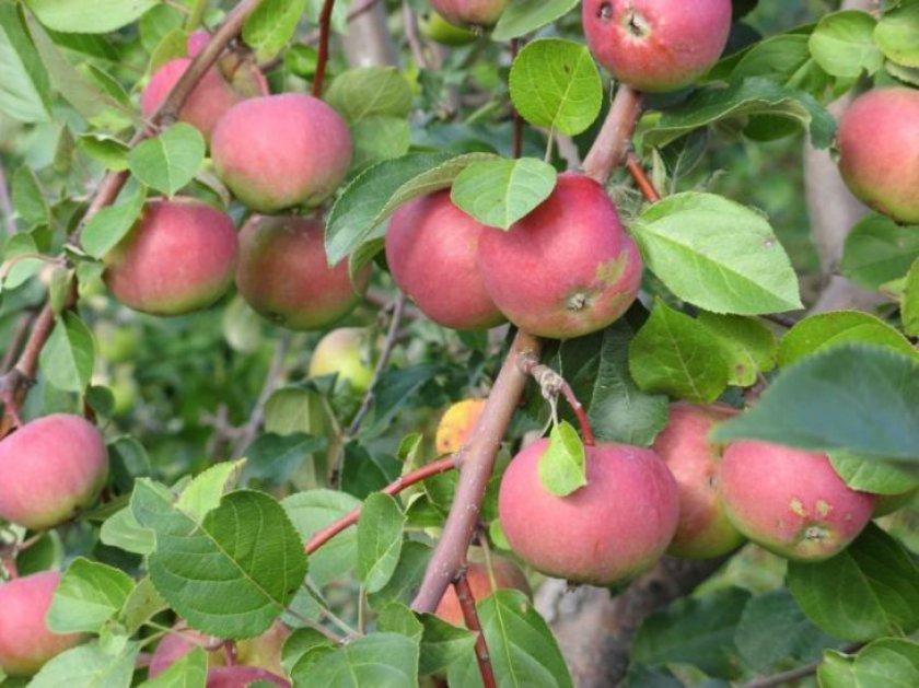 Яблоня ВЭМ-розовый