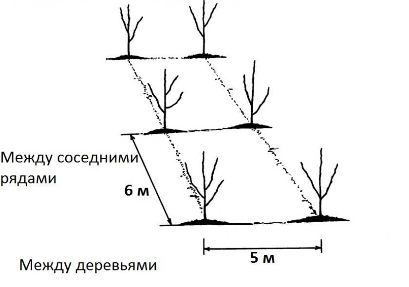 Расстояние между деревьями