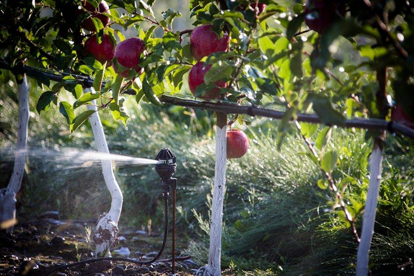 Полив яблони дождеванием