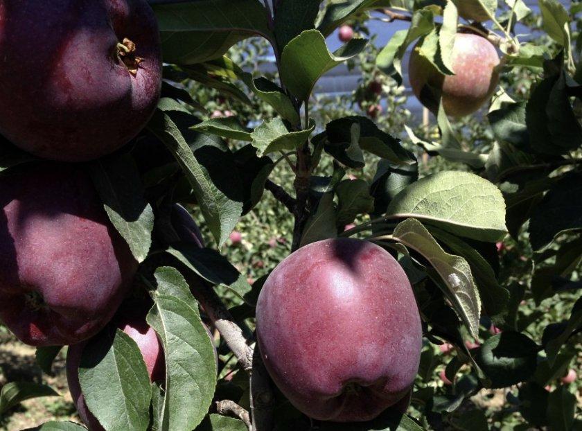 Достоинства яблоня сорта Джеромини