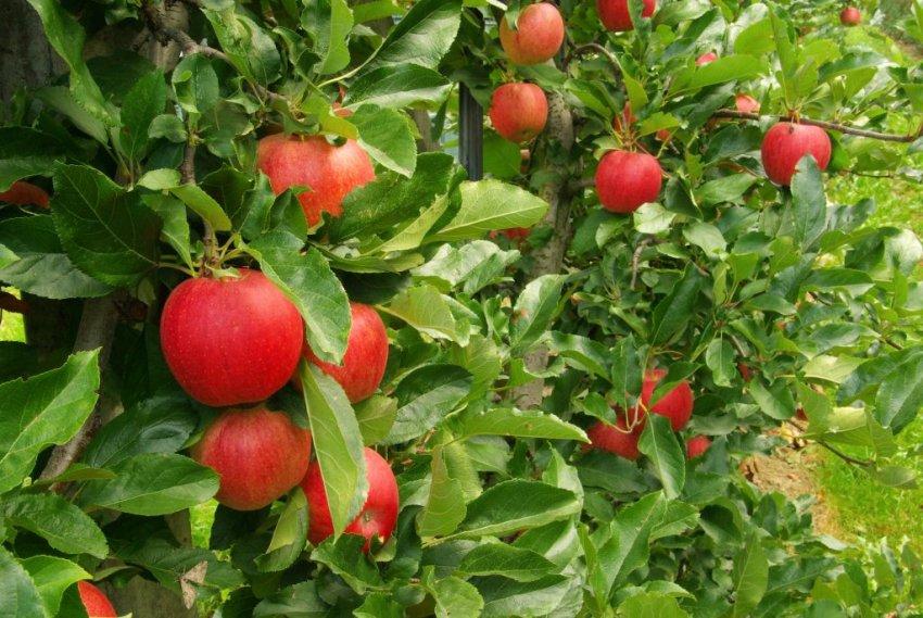 Урожай яблони Джеромини