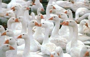Как построить птичник для гусей своими руками: пошаговое руководство
