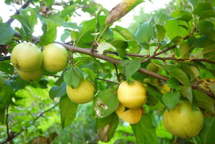 Урожай яблони сорта Яблочный спас