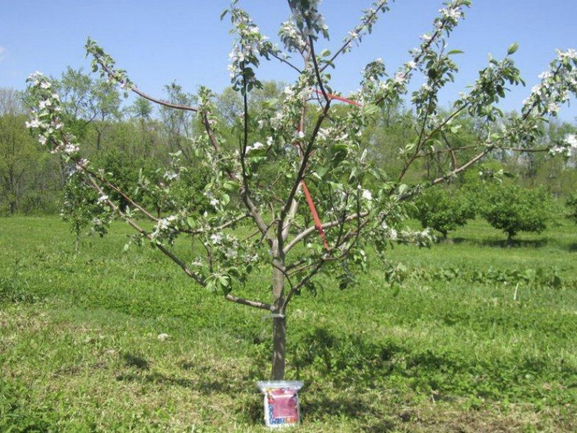 Трёхлетняя яблоня