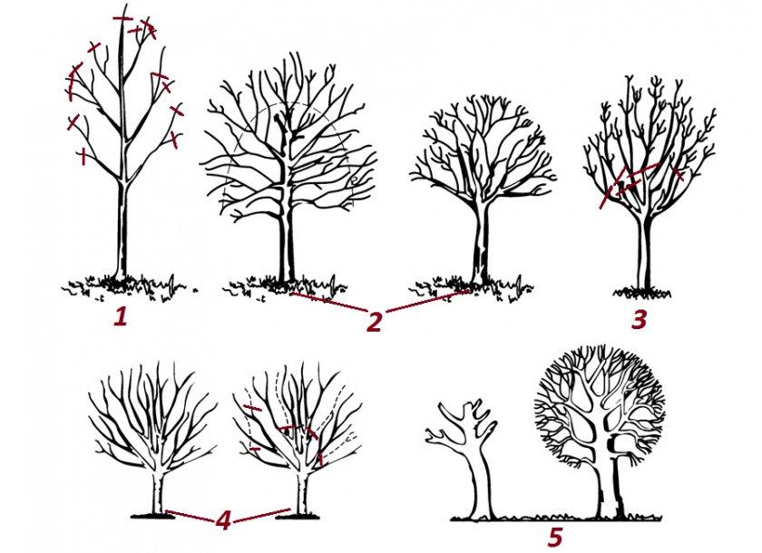 Как формировать яблоню