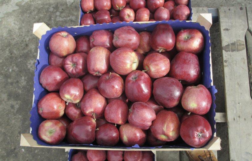 Урожайность яблони Старкримсон