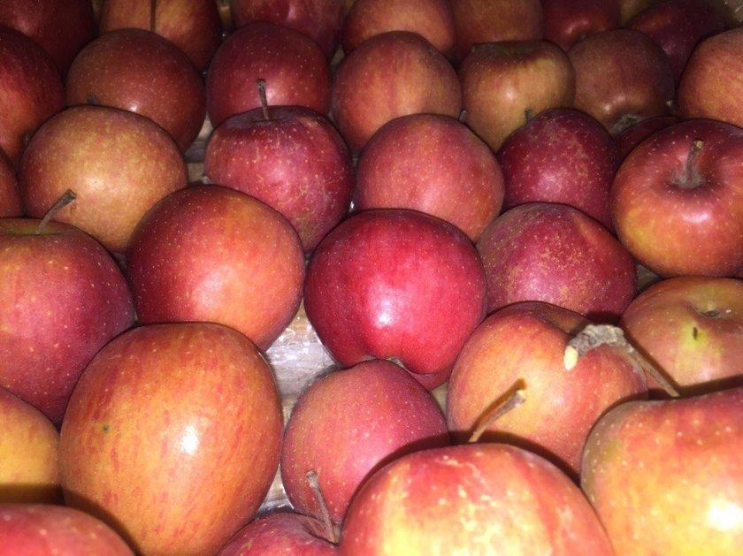 Урожай яблок сорта Старкримсон