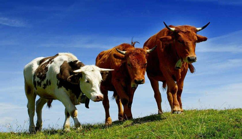 В Украине началась массовая регистрация скота