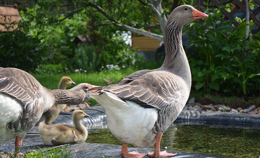 Крупная серая порода гусей