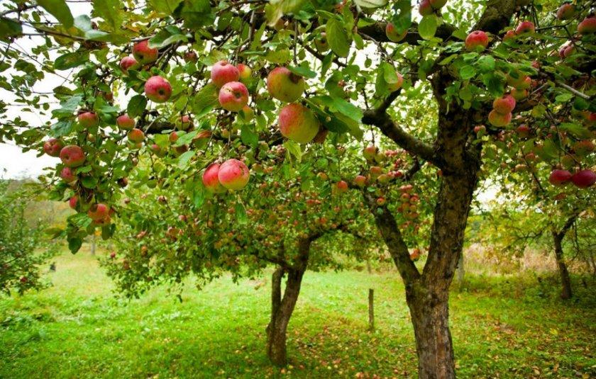 Две яблони
