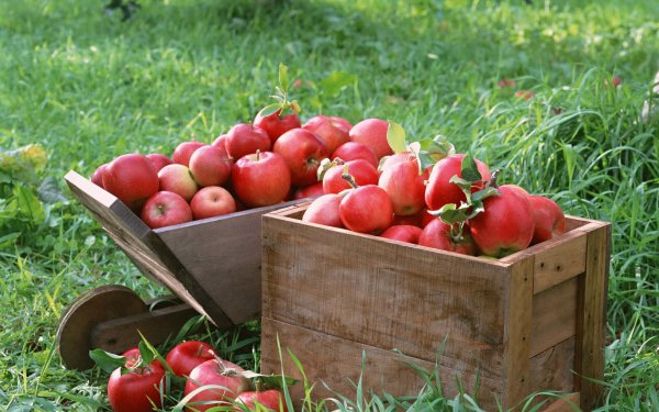 Как долго сохранить яблоки на зиму