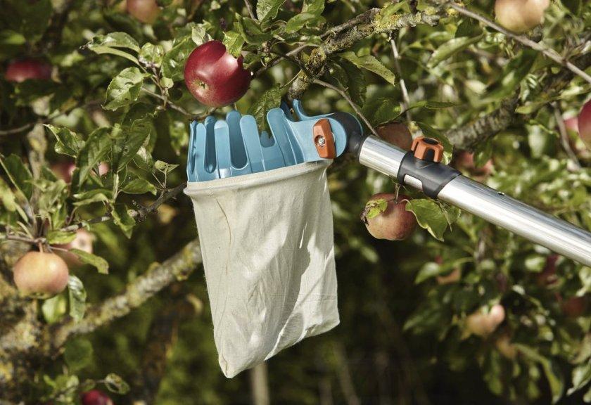 Как снимать яблоки с дерева