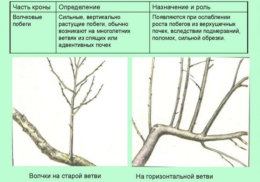Волчковые ветки на яблоне