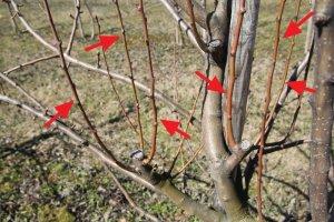 Весенняя обрезка яблонь схема