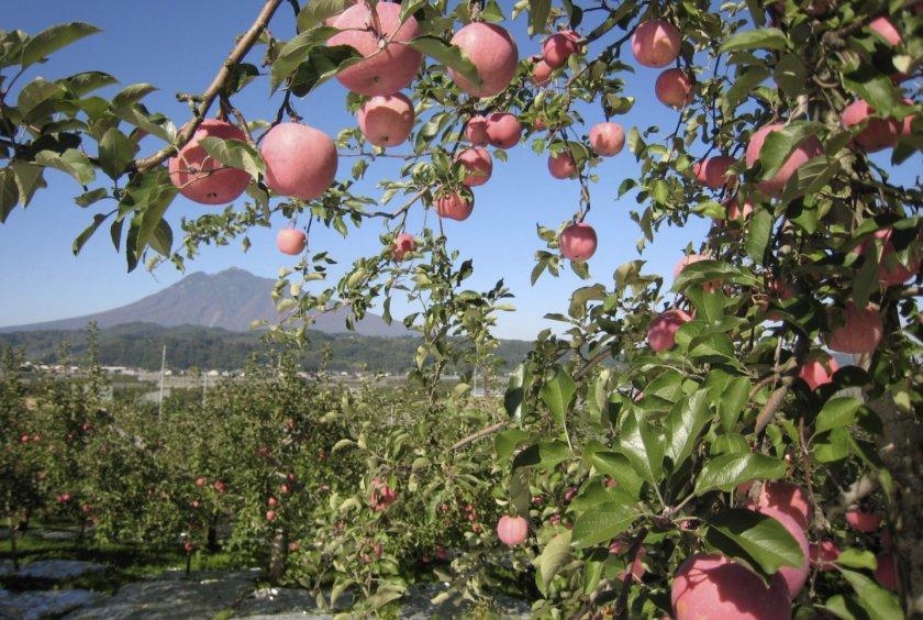 можно картинки японские яблоки прозрачной пластиковой плёнкой