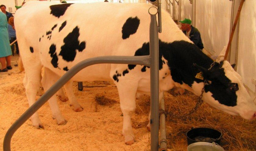Черно-пестрая порода коров