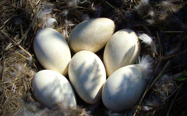 Сколько яиц класть под гусыню, когда подкладывать яйца под гусыню