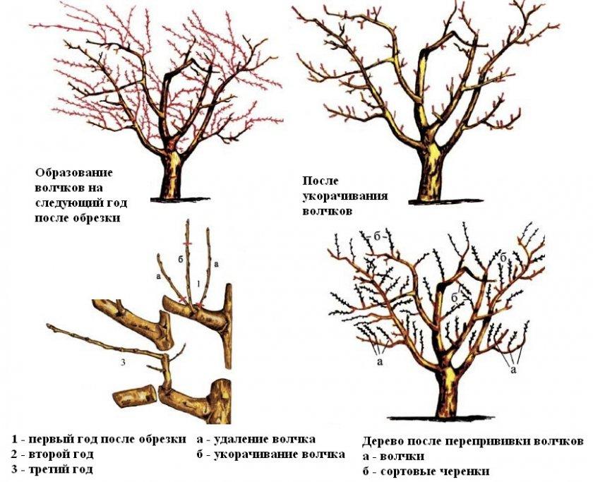 Схема обрезки волчков на старых яблонях