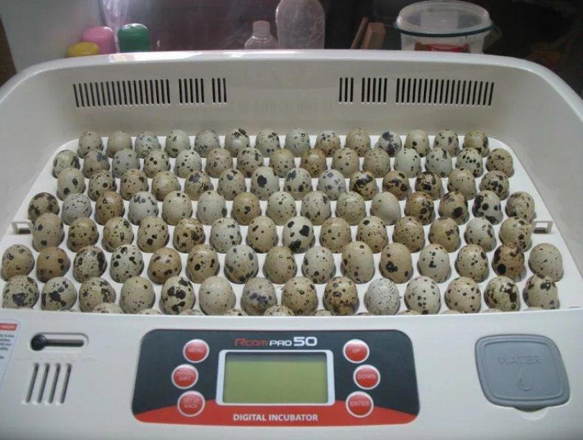 инкубатор для перепелиных яиц