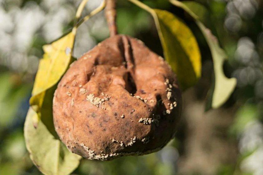 Монилиоз на плодах груши