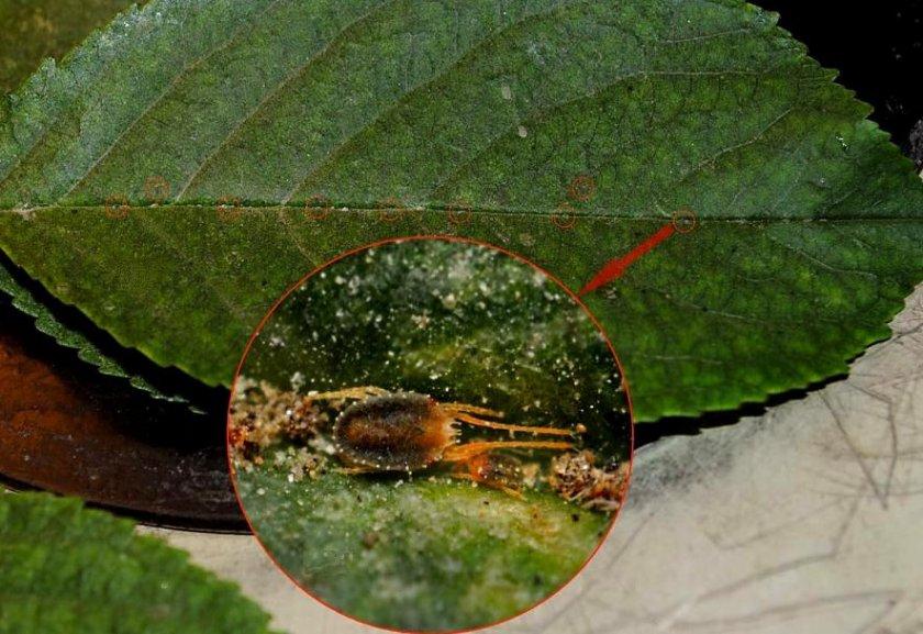 Паутинный клещ на листьях груши