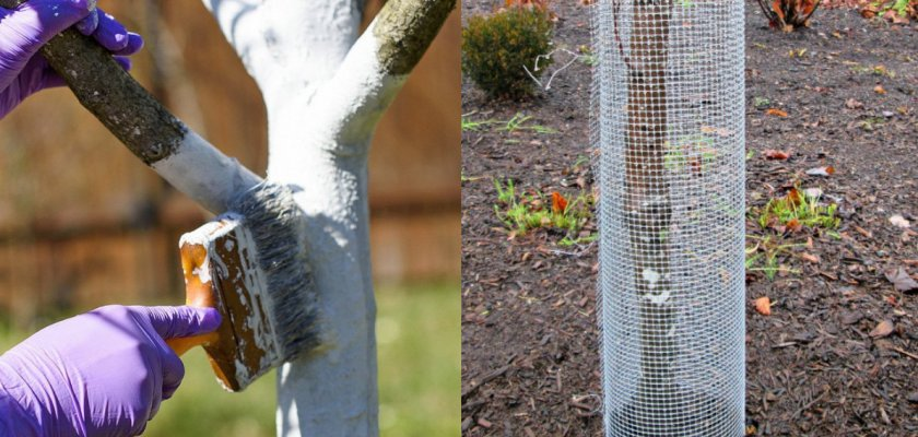 Побелка ствола и устанавливание спецыиальной сетки от грызунов