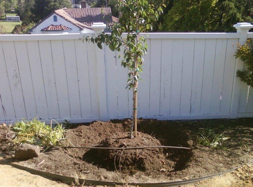 Место для выращивания груши