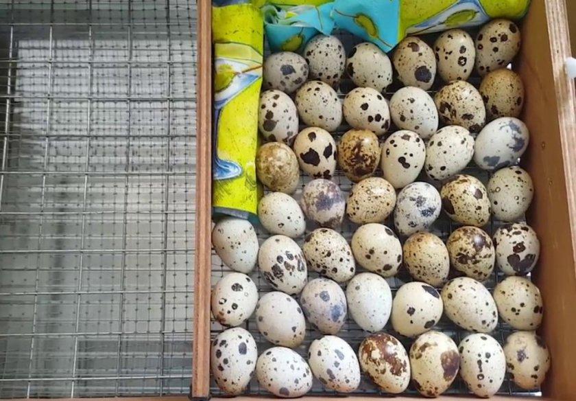 Горизонтальная закладка яиц