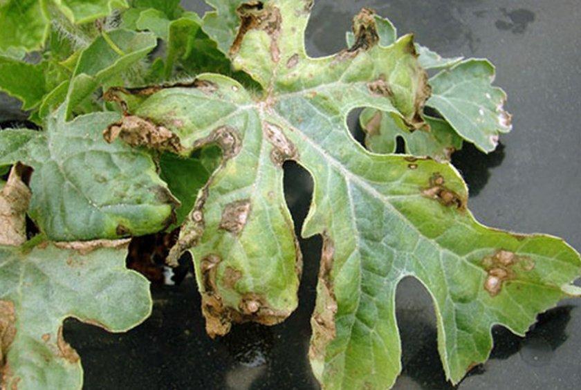 Бактериальная пятнистость на листьях арбуза