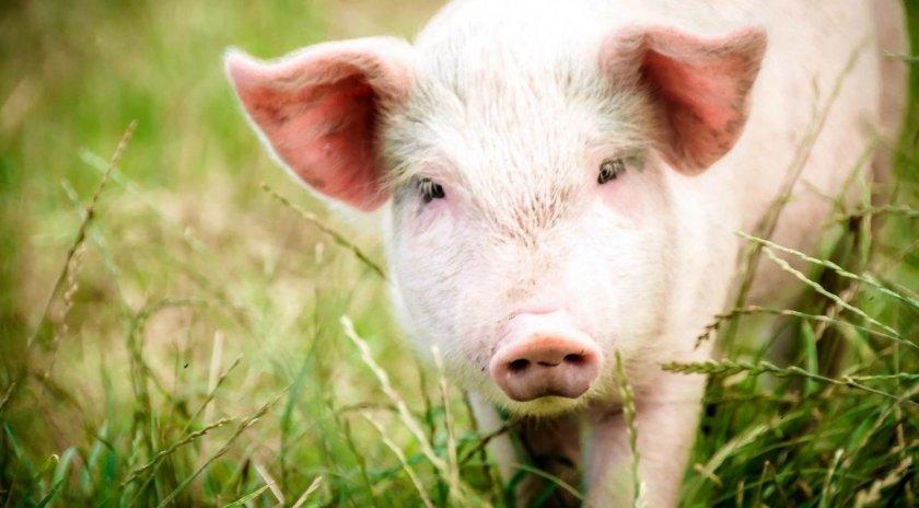 Свиноводство – самая дорогостоящая отрасль животноводства Украины