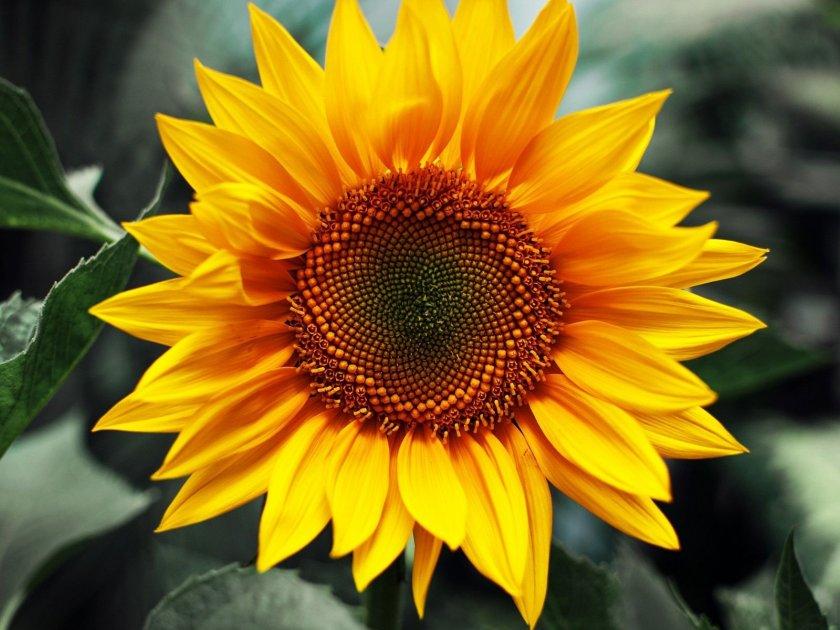 Агропредприятие «Хмельницкое» уменьшает посевы подсолнечника в 1,5 раза