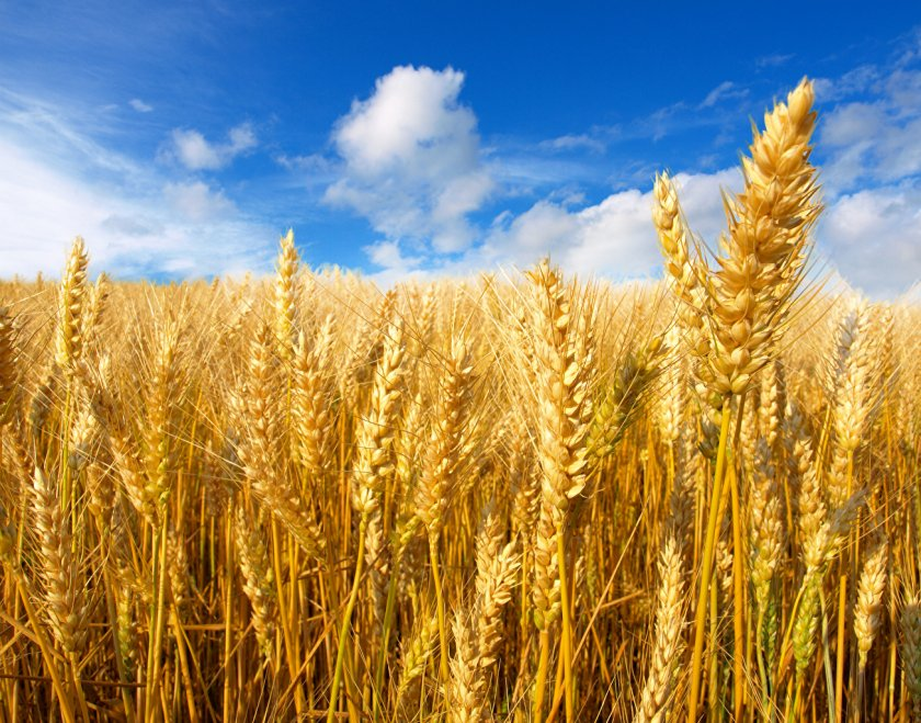 В Евросоюзе прогнозируется высокий урожай пшеницы