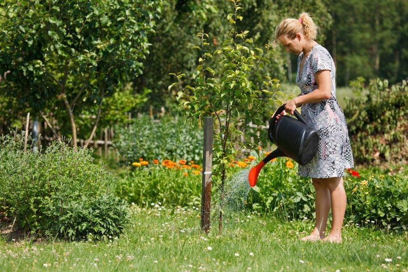 Полив яблони в саду